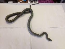 Buddy Japanese Rat Snake