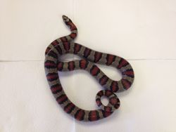 Persephone  Variable King Snake
