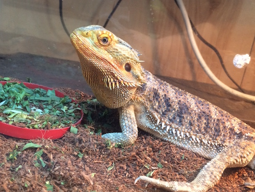 Chico Bearded Dragon/Lawson's (Rankin's) Dragon Cross