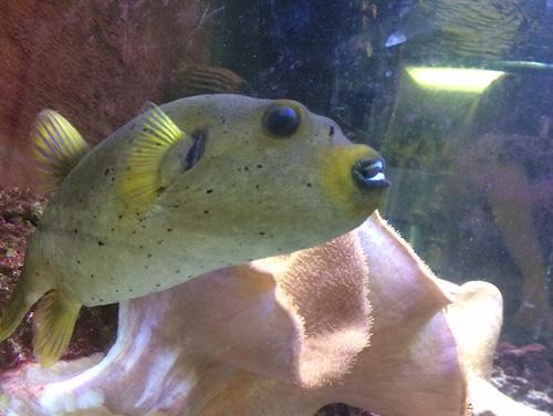 Ambassadors prairie aquatics and exotics for Dog face puffer fish